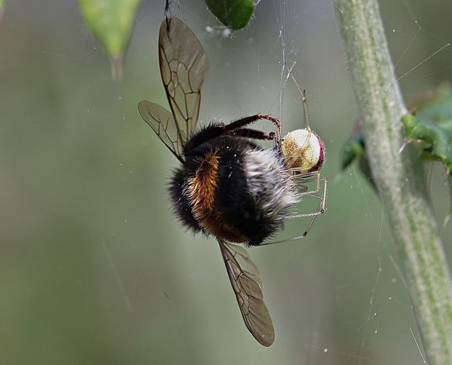 Macro shot of spider and bumblebee fighting on web