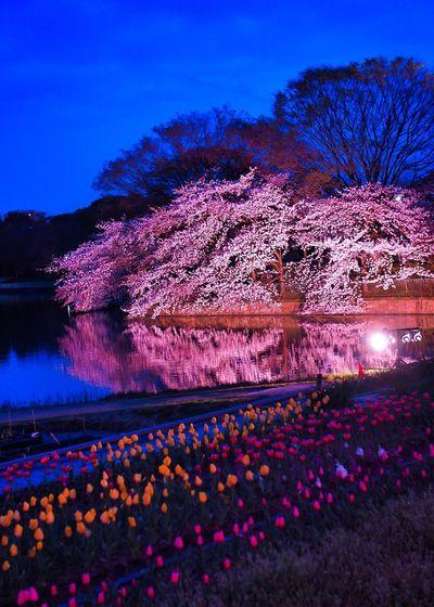 長居植物園 桜 Sakura ライトアップ Japan