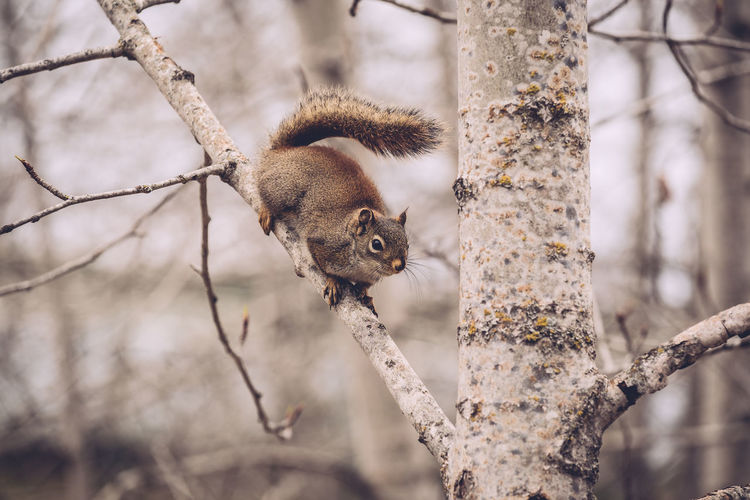 Low angle view of squirrel on bare tree