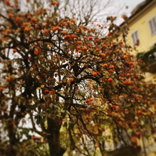 Scoperte in un cortile Milan To Discover Richness Of Nature Courtyard In Milan Tree Plant Branch No People Growth Nature Beauty In Nature Autumn Orange Color