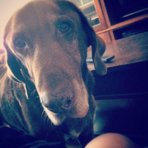 Such a deep, handsome, horse. Dog Bigdog Fun Picture Doggy Pup Puppy Horse Redbone Coonhound Yup Yay Redbonecoonhound Redbonecoon Coon Coondog Coondogs Coondoglove Myredbone Teamredbone Familydog