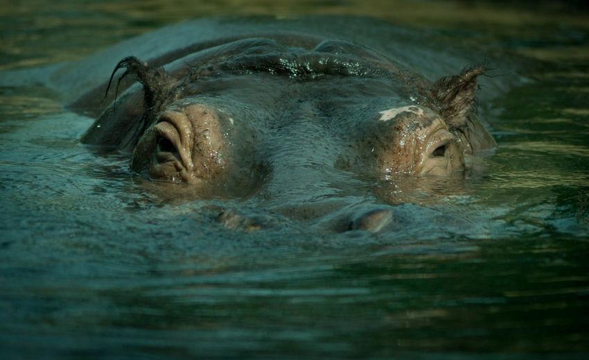 Portrait Of Hippopotamus In Pond