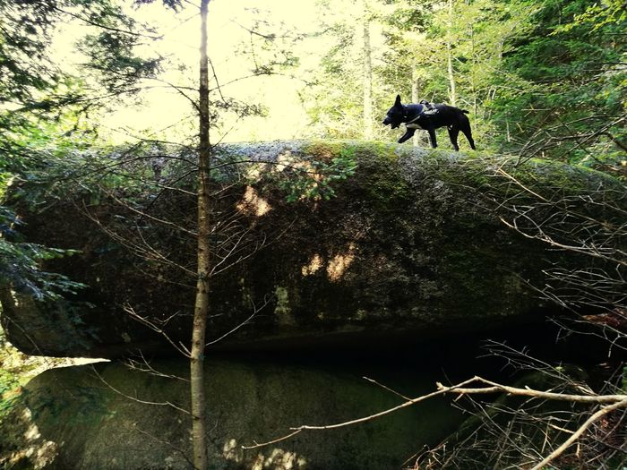 Bretagne Magical Forest Stone Tree Loki American Staffordshire Terrier Not Dangerous Nature Is Amazing!