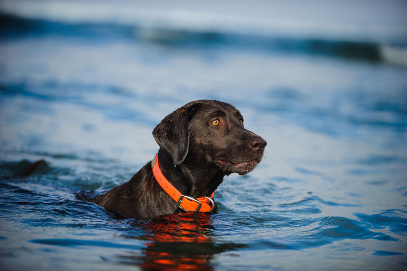 Close-up of chocolate retriever in water
