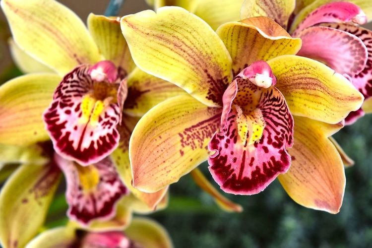 Beauty In Nature Blooming Close-up Flower Flower Head Fragility Nature No People Orchid Orchid Blossoms Orchid Flower Orchid Flowers Orchids Orchids Collection Orchidslover Petal Plant