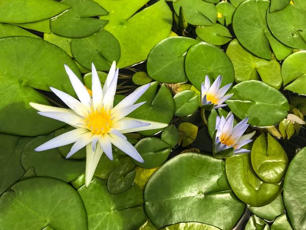 Simplicity Is Beauty. Minimalism Beauty In Nature Freshness Flower Head Flower Fragility Leaf Water Lily Nature Growth Plant Floating On Water Blooming Lily Pad EyeEm Nature Lover The Week On EyeEm