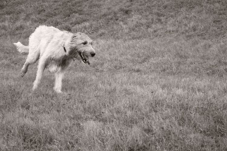 Monochrome Sepia Petscorner Cearnaigh Irish Wolfhound Dogslife Dogs Of Winter Dog Of The Day Dogwalk Dogslife Outdoors January 2017 Running Capture The Moment How Is The Weather Today? Winter 2017