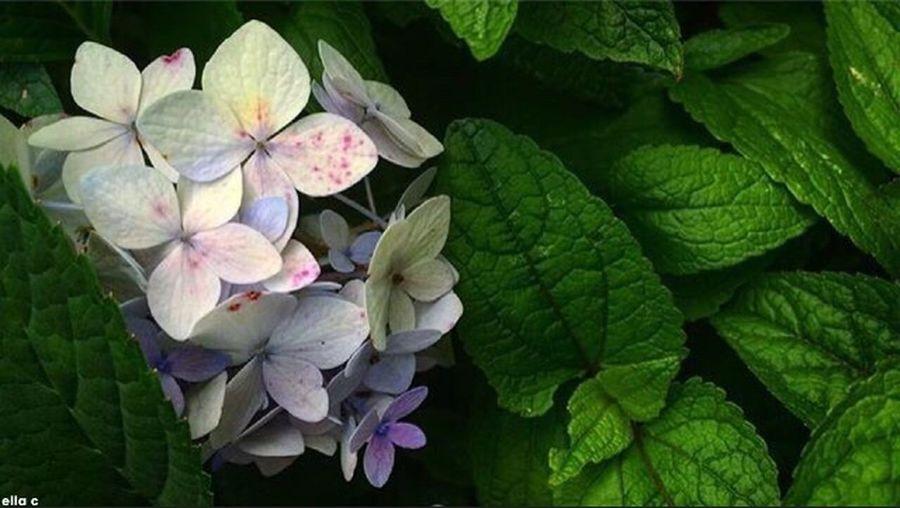 Hydrangea Green Purple Flower Nature