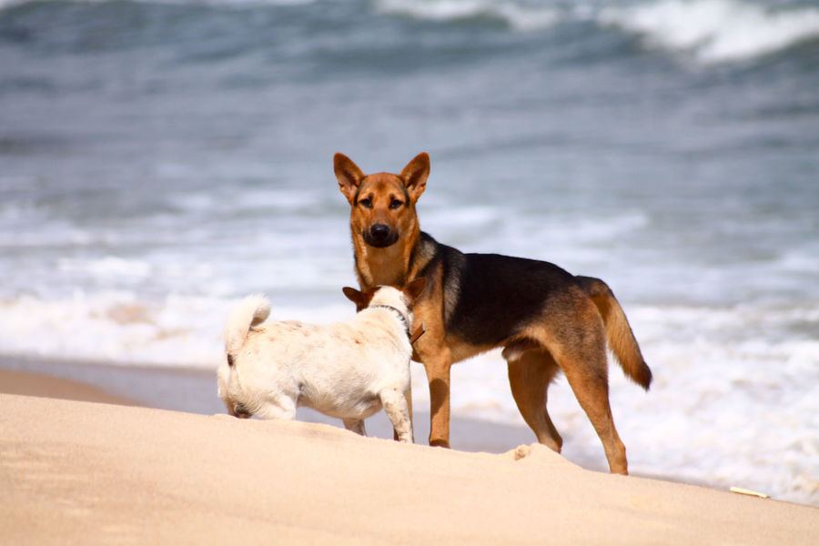 Looking At Camera Dog Portrait Nature Beach Animal Themes One Animal Animal Pets No People Animal Wildlife Domestic Animals Outdoors German Shepherd Beauty In Nature Mammal Day Dogs Playing In Water Dogs Playing At The Beach Happiness
