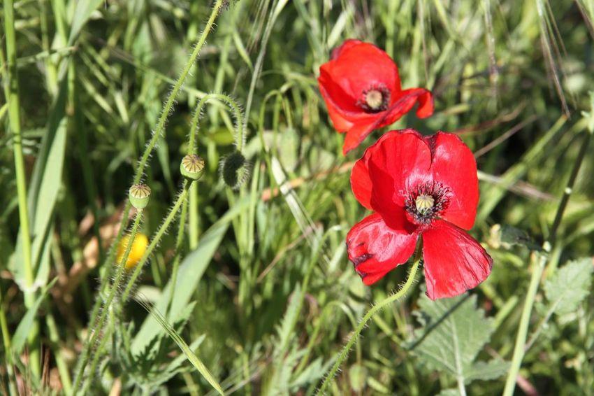Red Flower Poppy Flowers