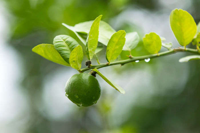 lemon lime Beauty In Nature Branch Day Food Food And Drink Freshness Fruit Green Color Healthy Eating Leaf Lemon Lime Nature Outdoors Plant Plant Part Tree