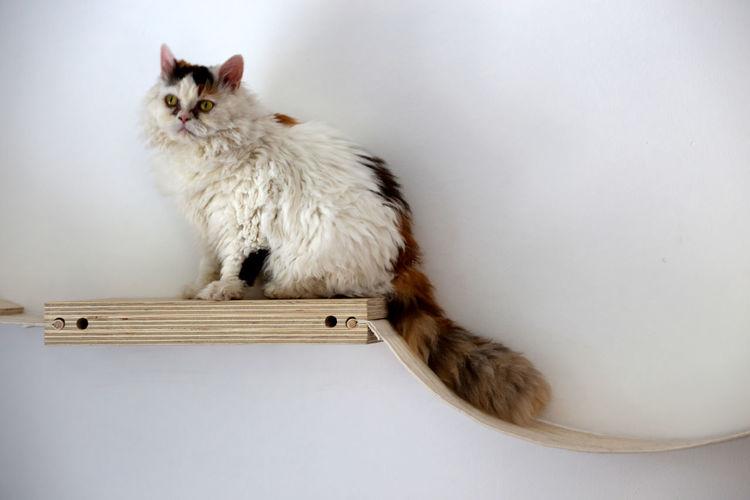Cat Furniture Hopping Cirratus Selkirk Rex ulala