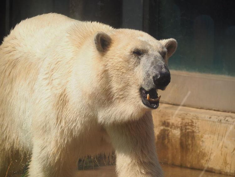 Animal Themes Animal Wildlife Animals In The Wild Bear Close-up Day Howl Mammal Nature No People One Animal Outdoors Polar Bear Zoo Animals