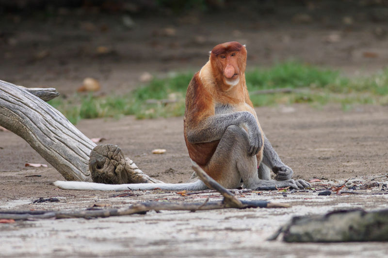 Portrait of proboscis monkey sitting on field