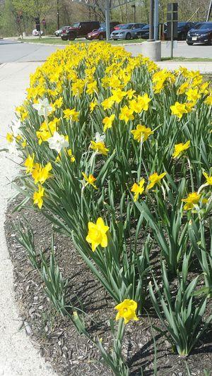 I spy a few rebels. Enjoying Life Hi! Hello World Sunshine EyeEm New Jersey Spring Flowers Flowerpower Check This Out