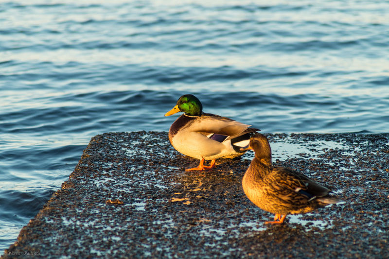 Mallard ducks on pier over river
