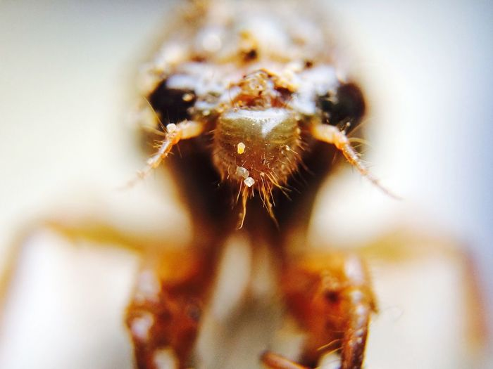 Close-Up Of Cicada Larvae