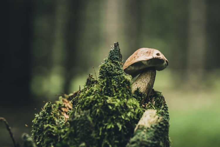 Close-up of mushroom growing on tree in forest