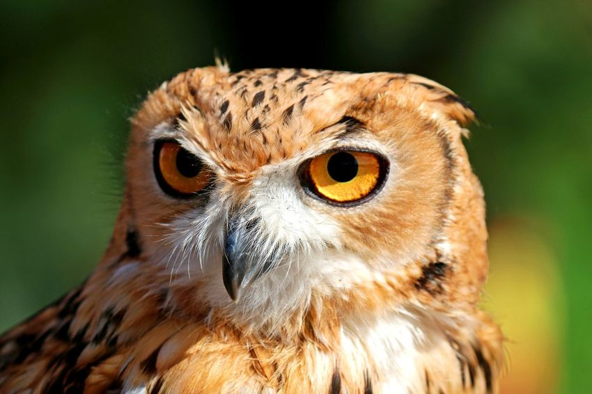 eagle owl Desert Owl Eagle Owl  Nature Animal Animal Body Part Animal Head  Animal Themes Animal Wildlife Animals In The Wild Beak Bird Bird Of Prey Close-up Day Desert Eagle Owl Focus On Foreground Looking At Camera Nature No People One Animal Outdoors Owl Portrait
