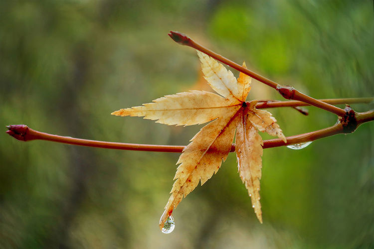 Maple Leaf in Golden Fall Color With One Rain Drop Dangling from Tip on Green Background Fall; Leaf; Fall Leaf; Autumn; Maple; Japanese; Japanese Maple; Drip; Drop; Droplet; Rain; Gold; Golden; Brown; Green; Golden Brown; Colors; Fall Colors; Branch; Detail; Foliage; Raindrop; Tree; Twig; Water; Wet Rainstorm; Background; Nature; Beautiful; C Rain Autumn Beauty In Nature Change Close-up Day Drop Droplet Fall Focus On Foreground Fragility Leaf Maple Nature No People Outdoors Red Twig Water