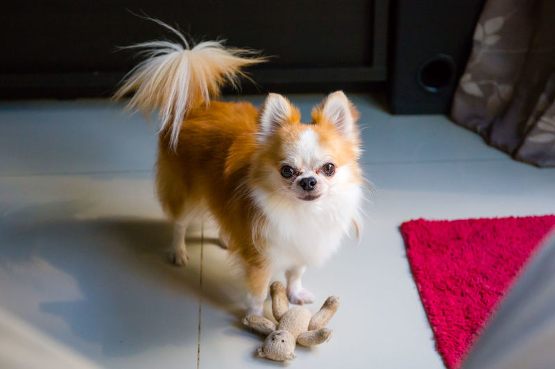 Chihuahua dog with his toys Domestic One Animal Pets Mammal Domestic Animals Animal Themes Animal Dog Canine Indoors  Lap Dog Small Vertebrate Cute Young Animal Full Length Sitting Standing Chihuahua - Dog Pomeranian Dog With Toy Chihuahua Chihuahualovers Cute Dog  Dog Looking At Camera