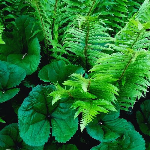 Quiet Places May Garden Photography Garden Plants Quiet Moments Green Green Green!  Emerging Fern Leaves_collection Plants Plant Photography Leaf Backgrounds Fern Plant Part Close-up Plant Green Color Leaf Vein Maple Leaf Frond Plant Life Botany Growing