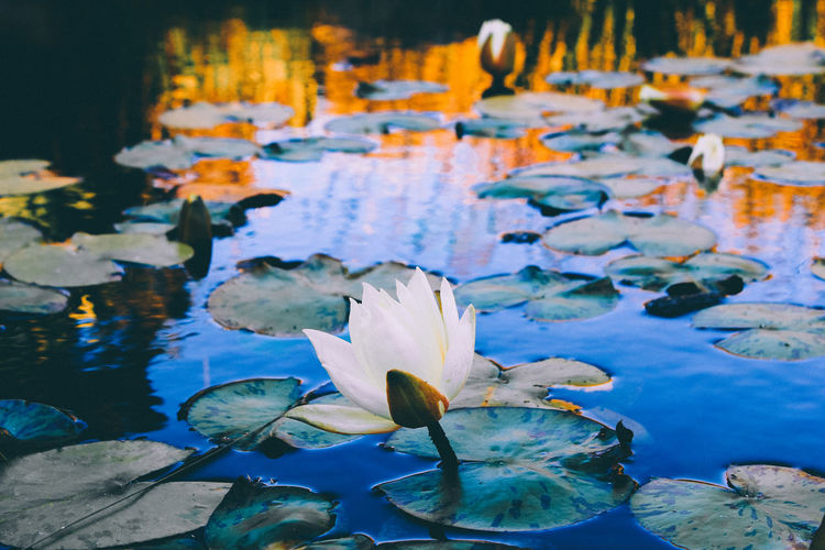 Lilypads with flowers