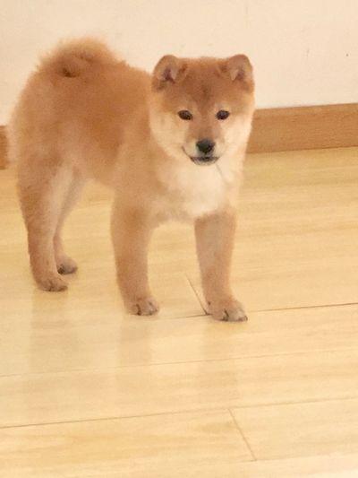 日本柴犬 EyeEm