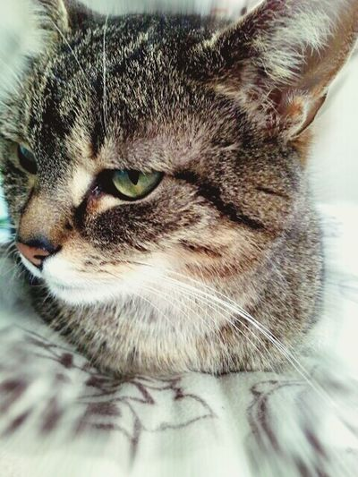 Schisy Cat Domestic Cat Pets Feline Green Eyes Cat Animal Themes Relax In Home TCPM Pet Portraits