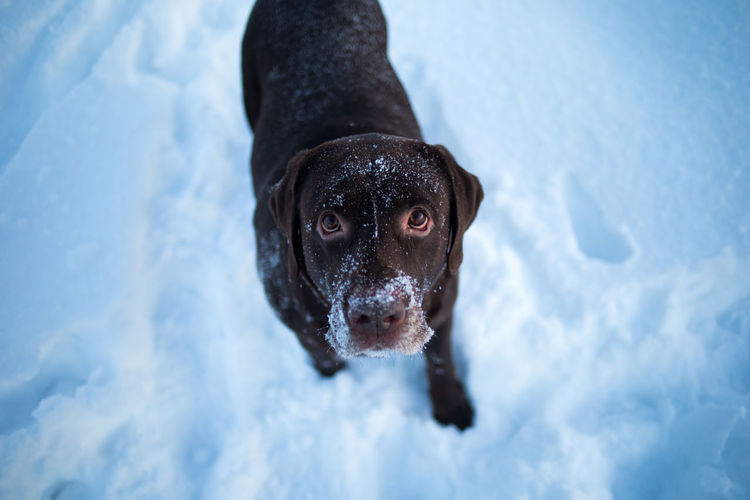 High angle view portrait of dog in snow