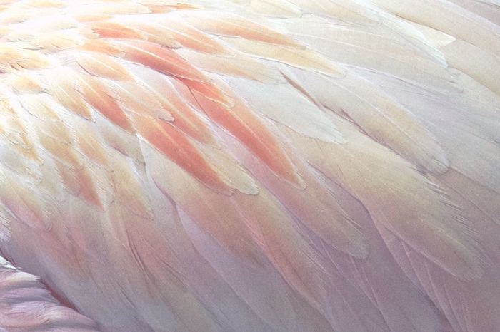 I wish you all a marvelous Friday 🙋🏻✨ Animal Themes Close-up No People One Animal Nature Animal Wildlife Backgrounds Bird Beauty In Nature Flamingo Feather  Feathers Flamingos Flamingo At The Zoo Flamingo Birds Bird Photography Birds_collection Zoo Exploring Style