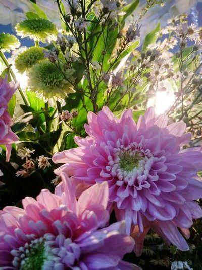 Flower Collection Flower Light Flower Head Flower Pink Color Petal Close-up Plant In Bloom Dahlia