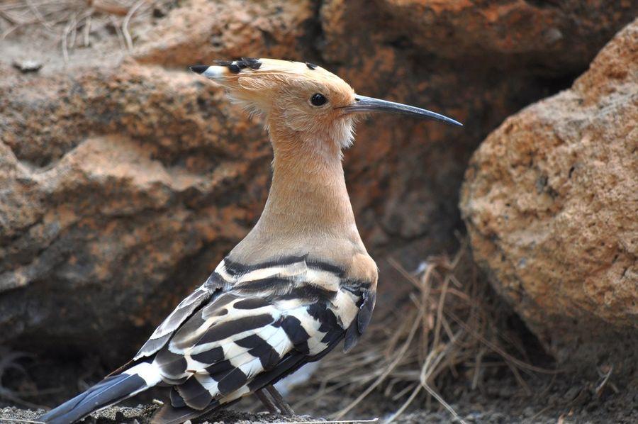 Hoopoe Beak Birds Feathers Hoopoe Long Beak