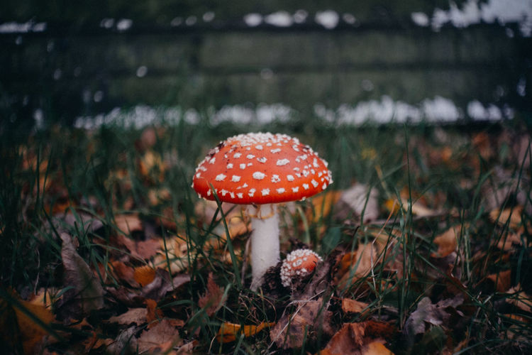 modern Fuji lens version Fall Autumn Beauty In Nature Close-up Day Field Fly Agaric Mushroom Focus On Foreground Food Freshness Fungus Growth Land Lo-fi Mushroom Nature No People Outdoors Plant Poisonous Red Selective Focus Spotted Toadstool Vegetable