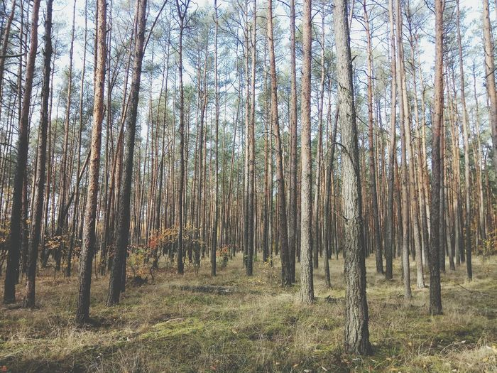 Goldpolishautumn Forest Tree Forest Tree Trunk Bamboo - Plant WoodLand Bamboo Grove Landscape Grass Sky