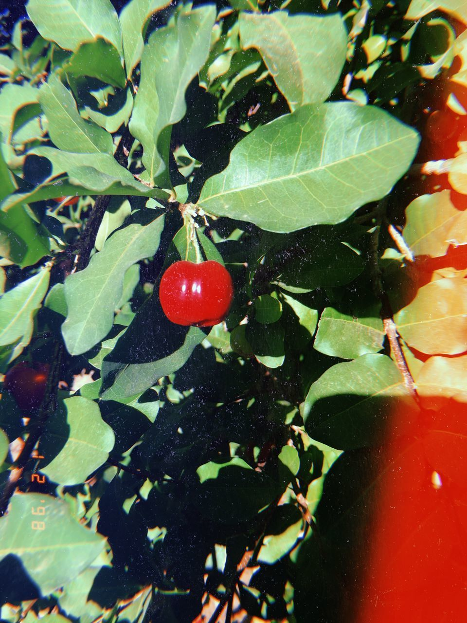 red, fruit, plant part, leaf, healthy eating, food, food and drink, plant, freshness, growth, wellbeing, close-up, nature, green color, no people, day, ripe, beauty in nature, tree, outdoors