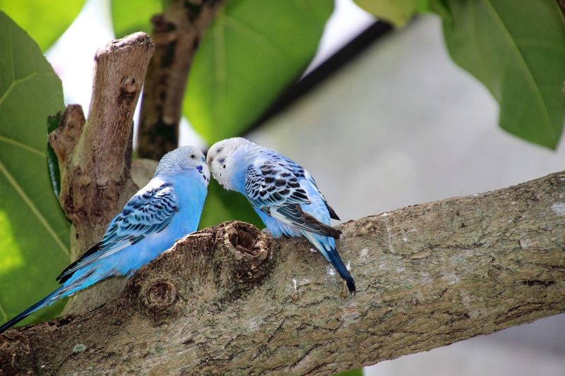 Close-up of two parakeets kissing