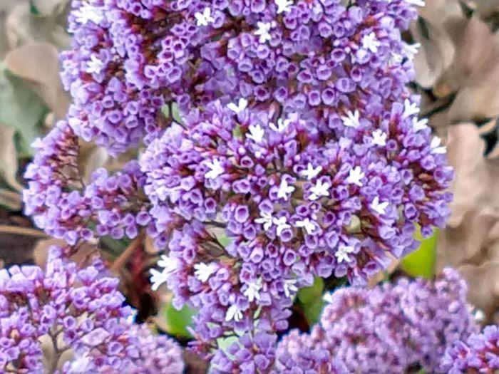 Flower Flower Head Lilac Springtime Purple Blossom Scented Close-up