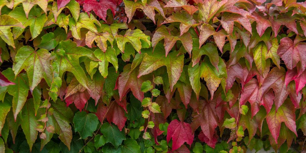 Full frame shot of ivy during autumn