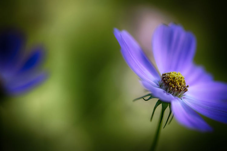 Beauty In Nature Bloom Blossom Blue Botany Close-up Day Flower Flower Head Focus On Foreground Fragility Freshness Growth In Bloom Nature No People Petal Plant Purple Selective Focus Single Flower Softness Springtime Stem Vibrant Color