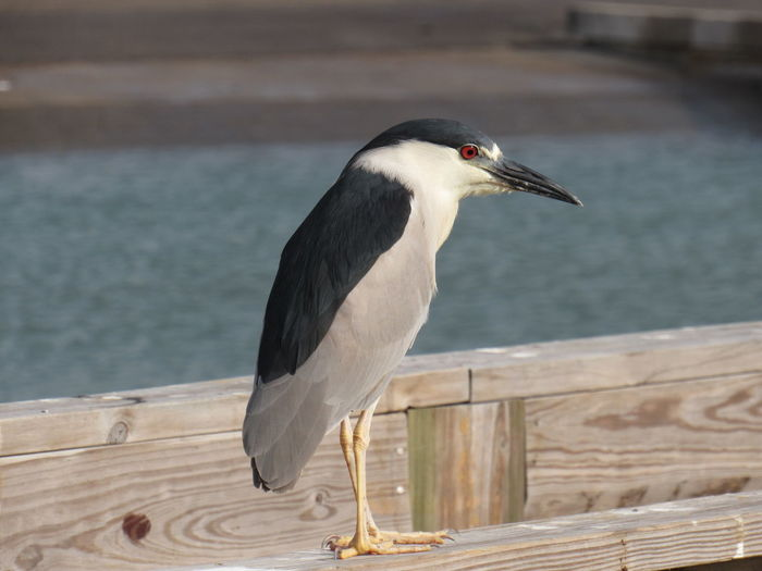 Black crowned night heron perching on wooden railing against river