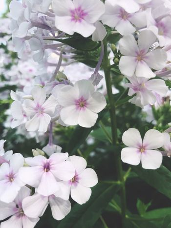 Flower Growth Beauty In Nature Petal Fragility Blooming No People Freshness Flower Head Nature Day Outdoors Plant Close-up Periwinkle Sommergefühle EyeEmNewHere Freshness Beauty In Nature Plant Pink Color