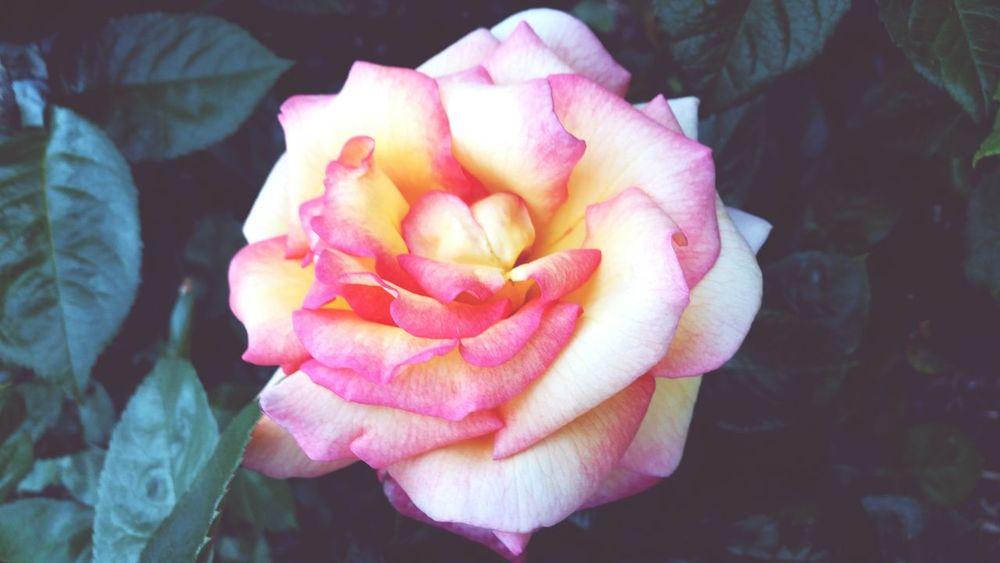 A rose for Darcy Jean. R.I.P Rose🌹 RiseUp HappyBirthday RoseCity Portland PortlandOregon Fresh Air EyeEm Nature Lover