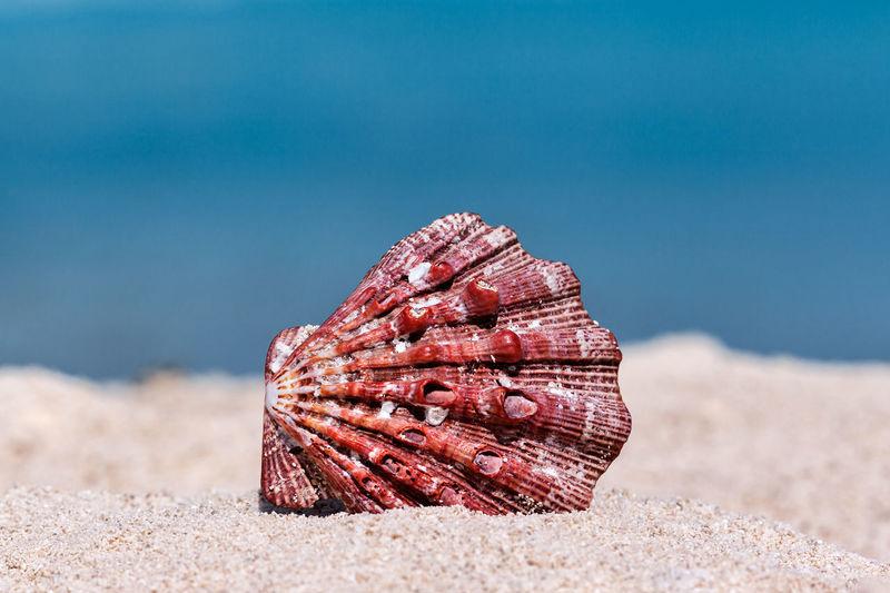 Close-up of seashell on beach against blue sky