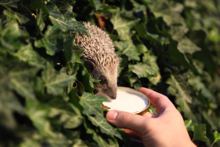Close-up of hand feeding hedgehog