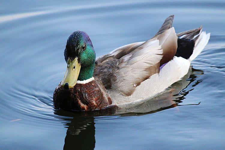 Close-Up Of Mallard Duck Floating On Lake