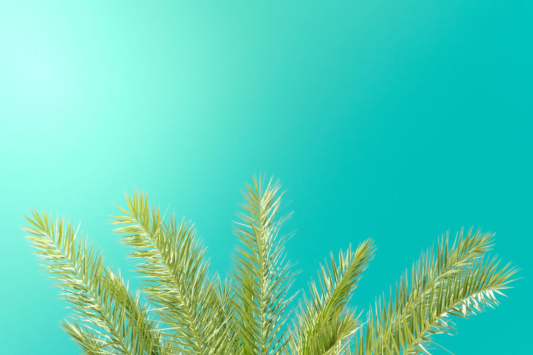 Summertime Sunlight Turquoise Colored Vacations Beauty In Nature Blue Clear Sky Copy Space Day Environment Green Color Growth Leaf Low Angle View Nature No People Outdoors Palm Leaf Palm Tree Plant Plant Part Simplicity Sky Tree Tropical Climate