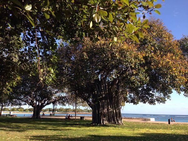 Banyan tree,Honolulu