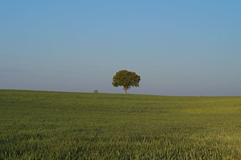 Beauty In Nature Clear Sky Field Grass Green Color Growth Horizon Horizon Over Land Isolated Jakobsweg Land Landscape Nature No People One Outdoors Plant Rural Scene Scenics - Nature Single Tree Sky Spaın Tranquil Scene Tranquility Tree A New Beginning