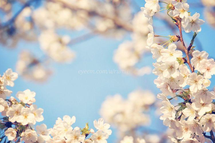 Sakura 祭り Sky_collection Skyporn EyeEm Nature Lover